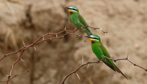 Bee-Eaters and Hoop-Hoops: Arabia on the Wing