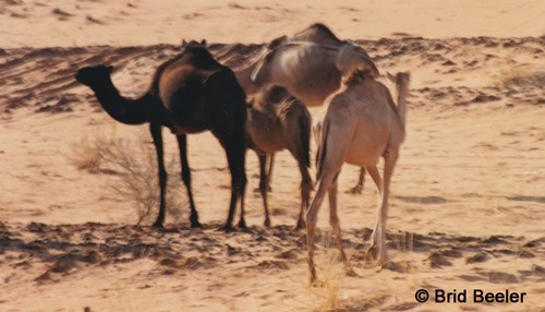 Camping with Camels: My Introduction to the Kingdom - Part II